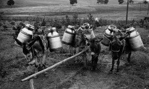 Za transport mleka koristili su se magrčići