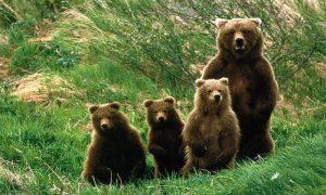 Mrki tarski medved