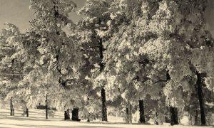 Zlatiborski borovi, zimska idila (foto Ilija Lazić)