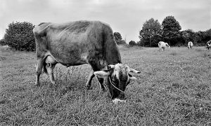Krava pasmine Montafonka, koje su najčešće odgajane na ekonomiji i suvatu sevojničke Poljoprivredne škole na Zlatiboru