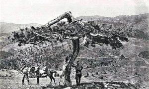 Zlatni bor 1923. godine
