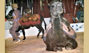 Dresura kamile