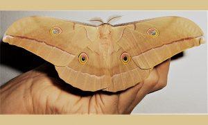 Hrastov svilac najveći evropski leptir, zlatiborski žuti lepotan