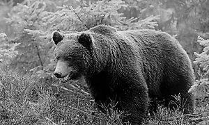 Mrki medved - Tarski