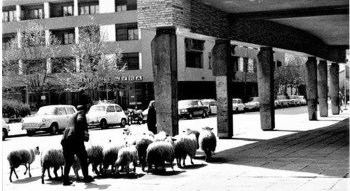 Tokom Urbanizacije Užica, stado ovaca na Trgu