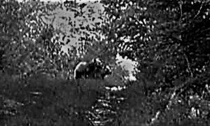 Medvedi na Murtenici. Foto Lovačko udruženje Zlatibor