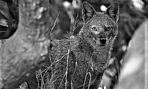 Šakal – zlatni vuk