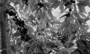 Mali đavolak mariše trešnje